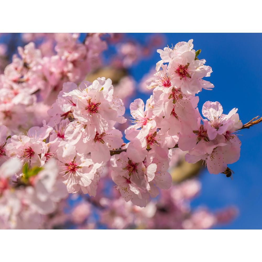 Online Orchards Akebono Cherry Blossom Tree Bare Root 3 Ft To 4 Ft Tall Flch008 The Home Depot In 2021 Blossom Trees Cherry Blossom Tree Flowering Cherry Tree