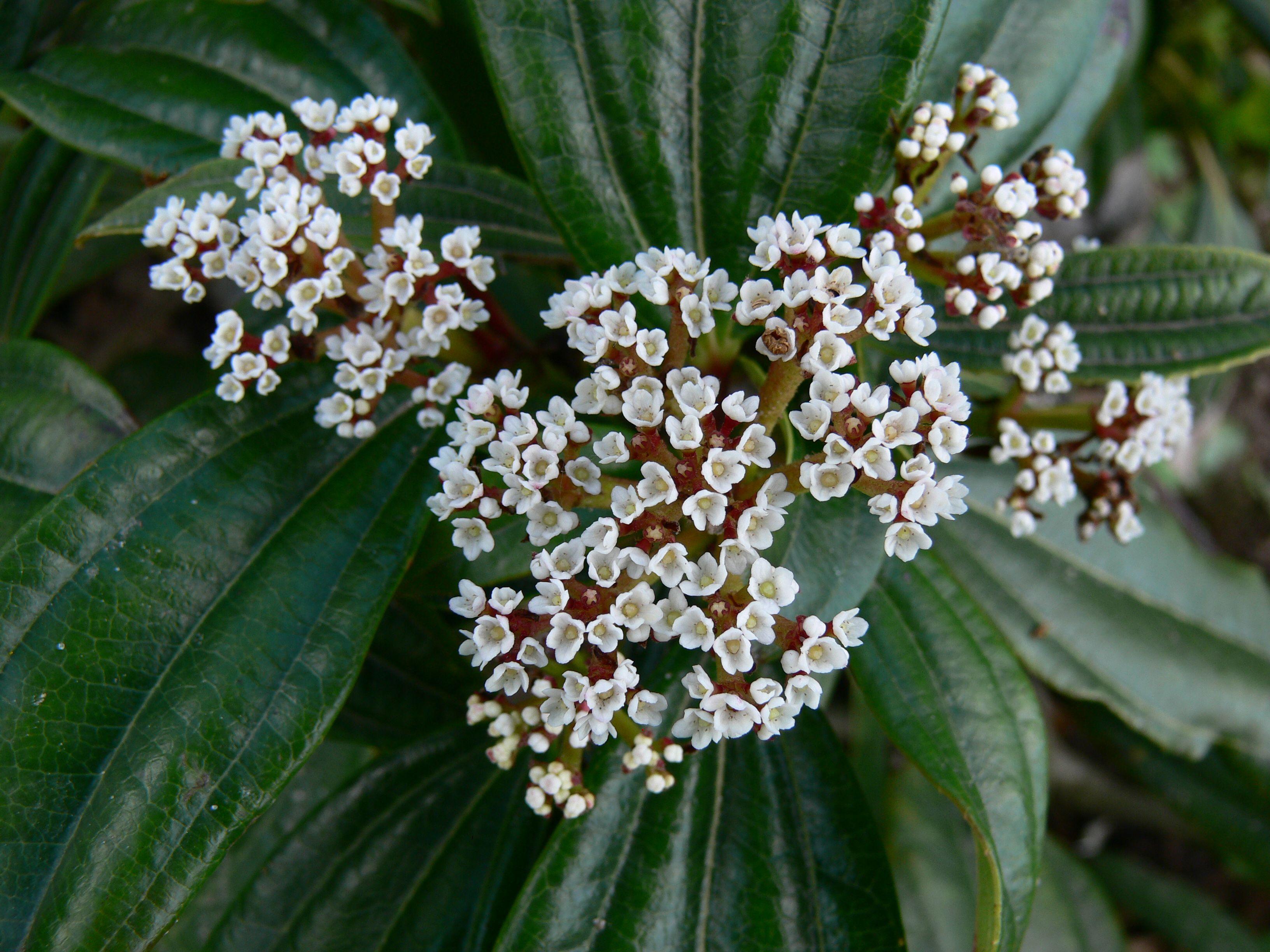 Viburnum Davidii 5l As Pure As White Plants Pinterest