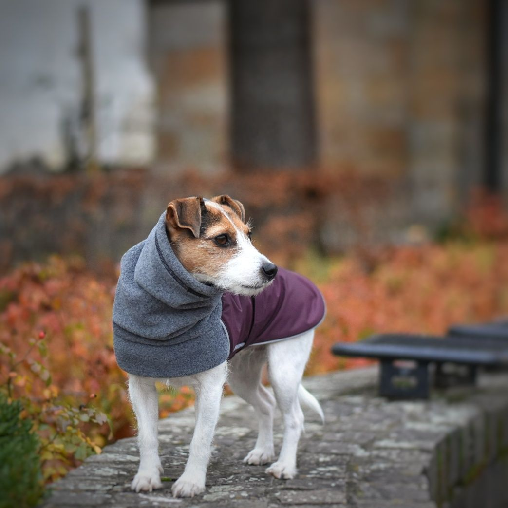 Bürohund the Jack Russell Terrier sporting his Burgundy