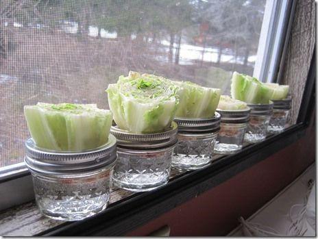 REGROW your veggies!