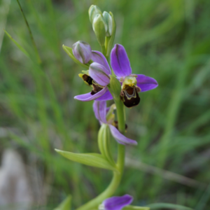orchidee sauvage plantation