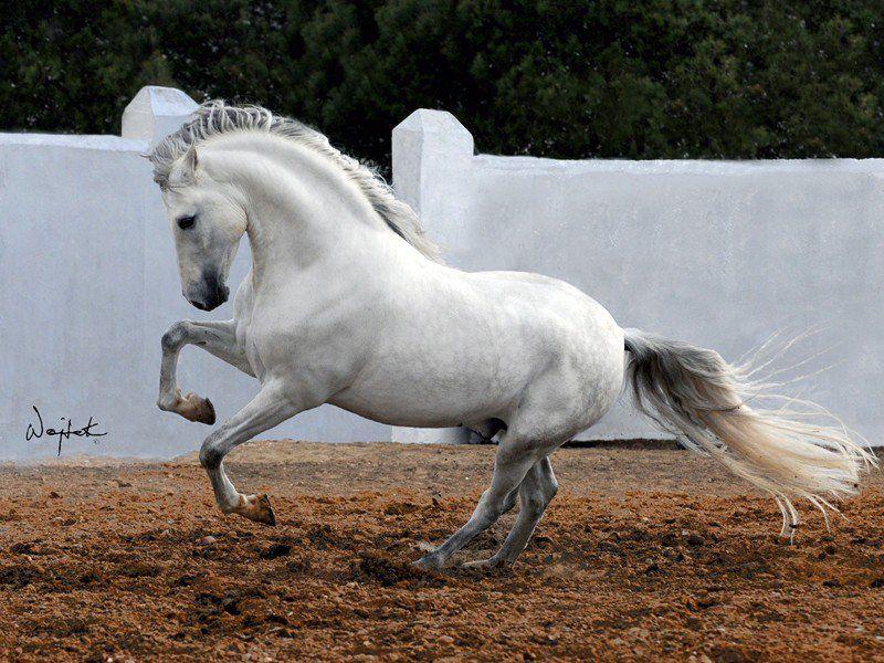 QUIBU MAC (Fuego De Cárdenas - Adelfa VI) Breeder/Owner: Yeguada Miguel Ángel de Cárdenas, Spain ©Wojtek Kwiatkowski Photography