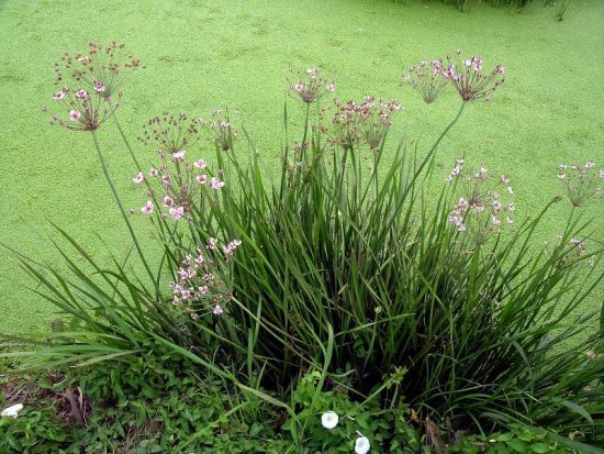 Butomus umbellatus butome ombelle flowering rush for Agrandissement maison houilles