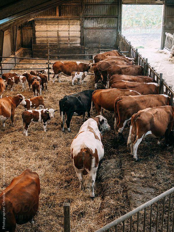 cows in barn Cattle barn, Cattle feeding barn, Cow