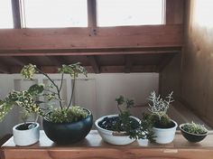 DIY: No-Fuss Bonsai for Beginner Bonsai Trees : More At FOSTERGINGER @ Pinterest ⚫️