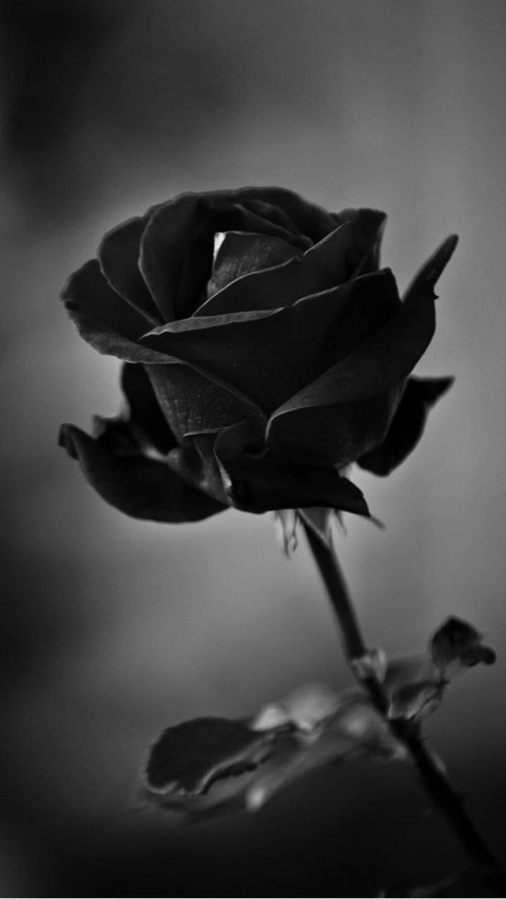 Black Roses Wallpaper Rose Wallpaper Black Rose