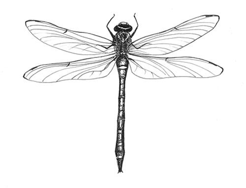 Dragonfly Tattoo Line Drawing : Alex robb alexandra wildlife paintings watercolour