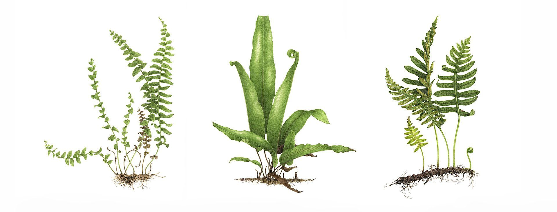 Vincent Jeannerot Aquarelles Botaniques Avec Images