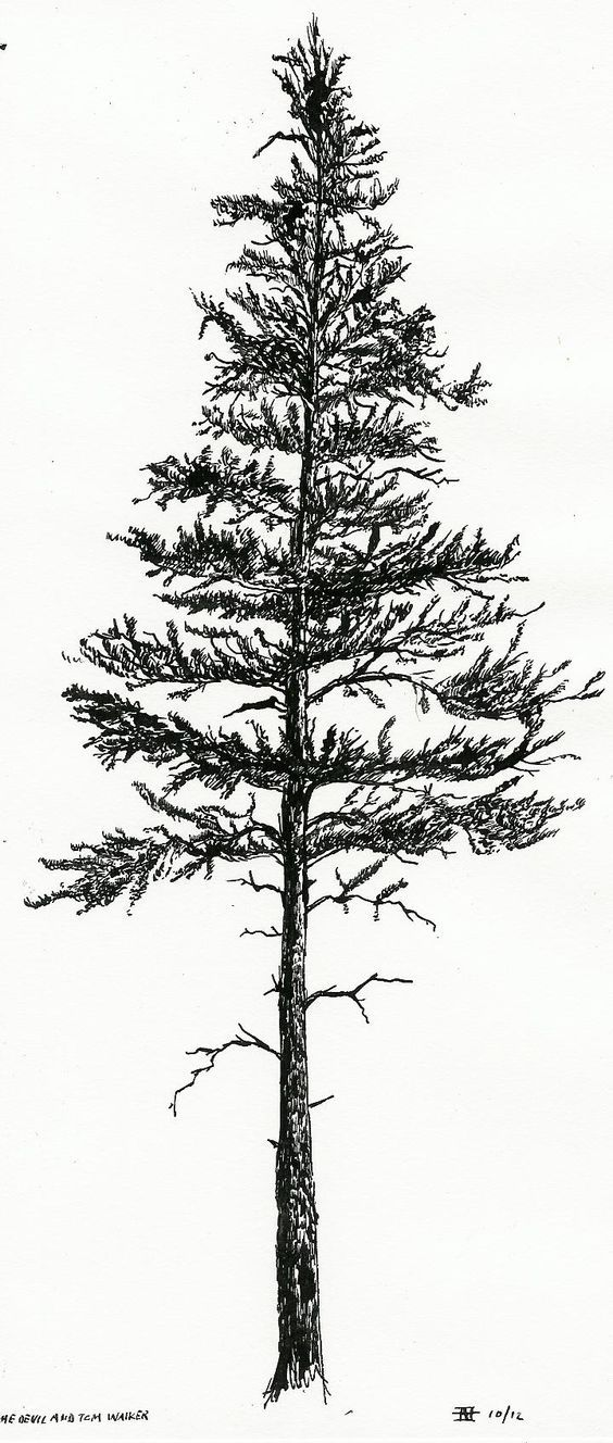 image result for lodgepole pine drawing