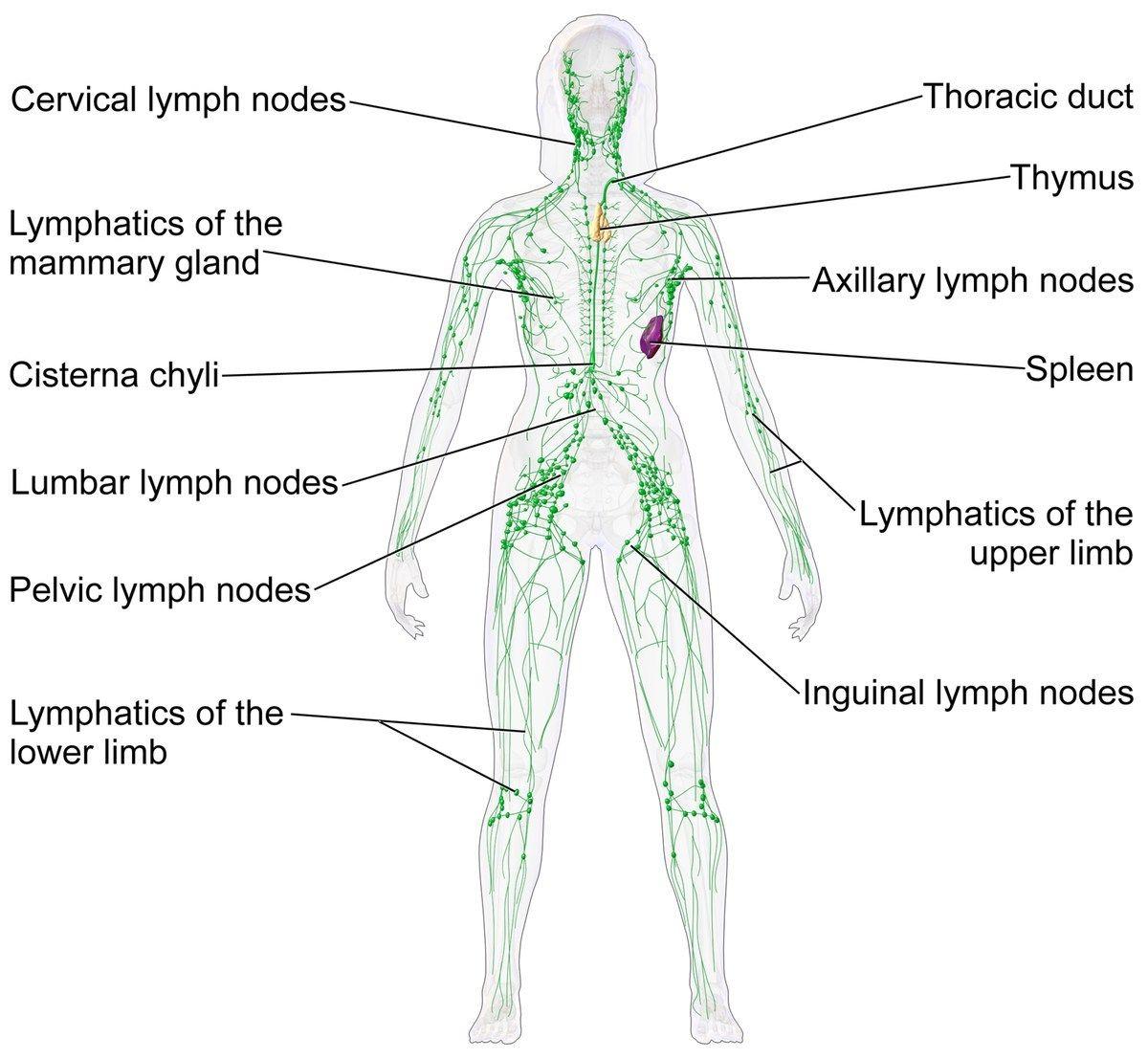 Female Lymphatic System Diagram Lymphatic System Wikipedia ...