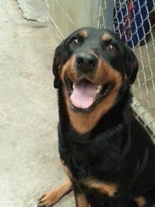 Sweet Rottweiler Dog Commerce Tx Adoptadog Rottweiler For Sale Rottweiler Rottweiler Dog