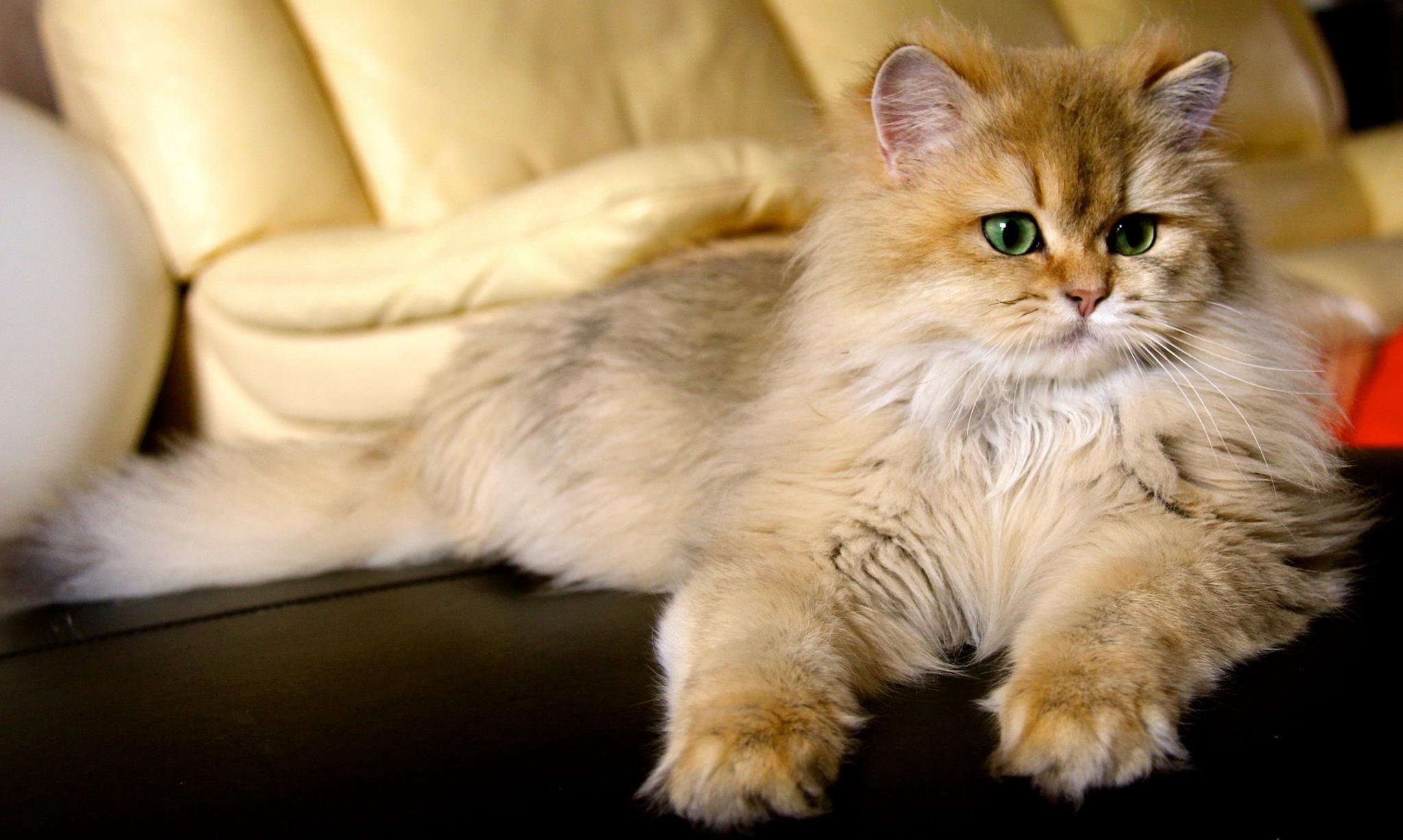 British Longhair Black Golden Ticked Cat Chat Britishlonghair Animal Cattery Elevage Chatterie Br British Shorthair Cats Cuddly Animals Cat Breeder