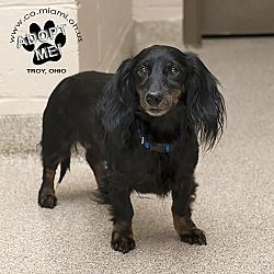 Pictures Of Elroy A Dachshund For Adoption In Troy Oh Who Needs A