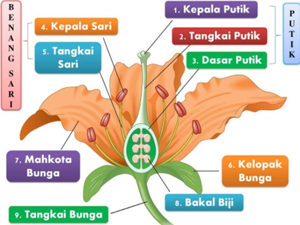 Bagian Bagian Bunga Penjelasan Fungsi Struktur Contoh Lengkap Bunga Gambar Bunga Gambar