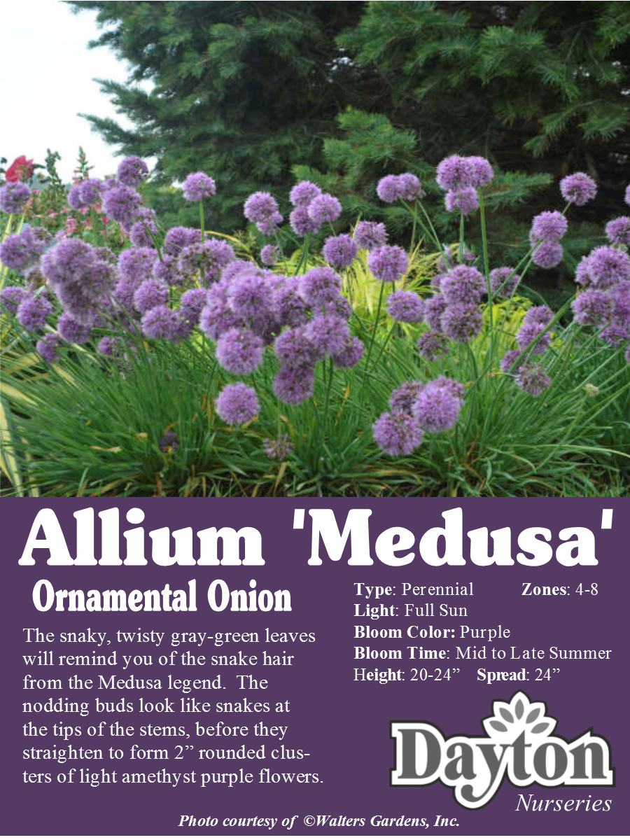 Allium Medusa Ornamental Onion The Snaky Twisty