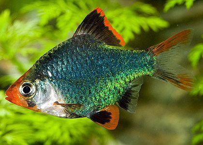 Green Tiger Barb Tropical Fish Aquarium Tropical Fish Tanks Tropical Fish