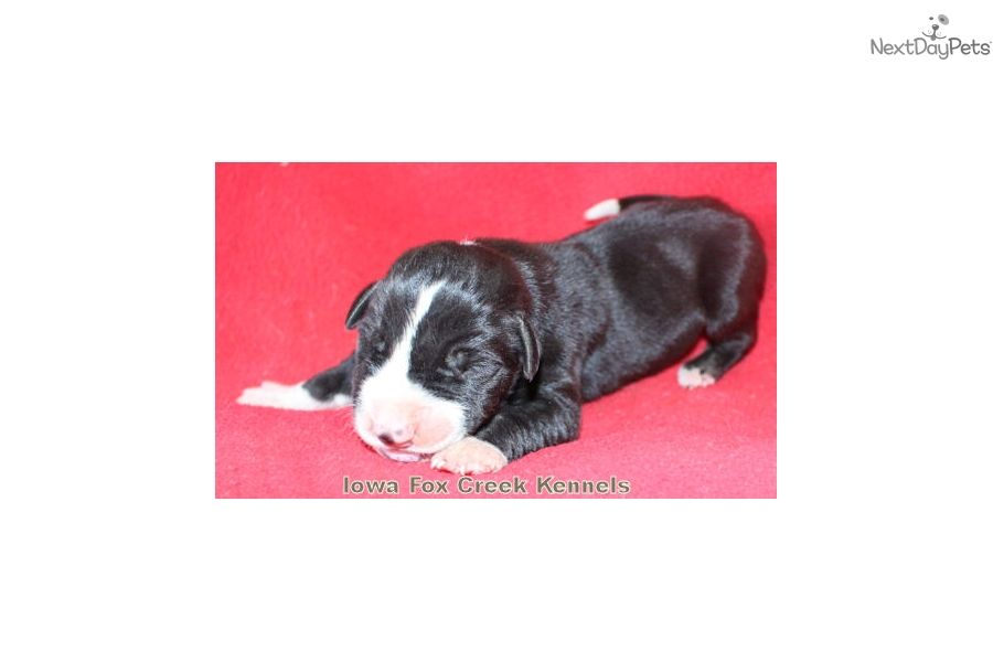 Great Dane puppy for sale near Des Moines, Iowa | 76efabf7