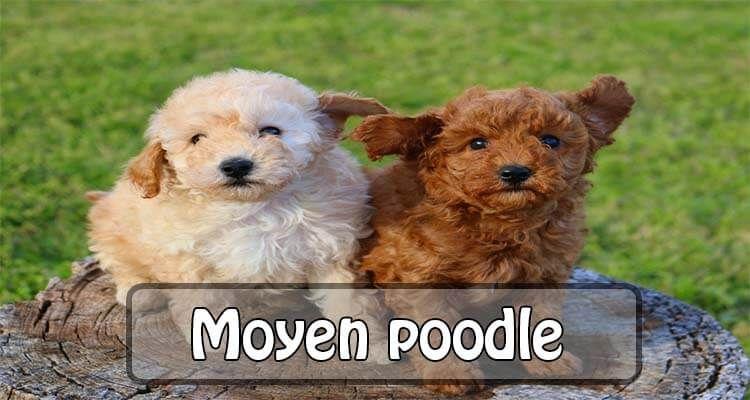 Moyen Poodle Moyen Poodle Teddy Bear Dog Poodle