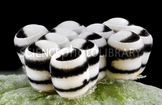 Eggs of the harlequin cabbage bug