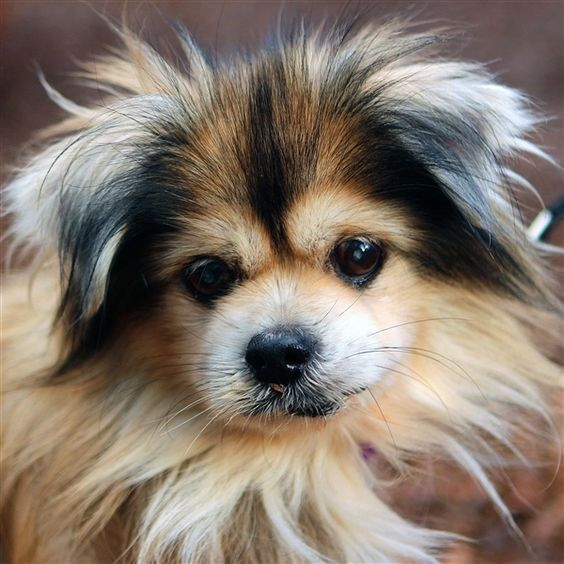 Kenai is an adoptable Dog Tibetan Spaniel Mix searching