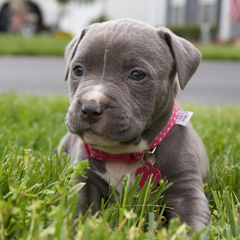 Pitbull Puppy By Lucia Hollabaugh Cute Animals