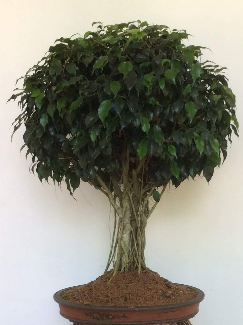 Ideal tropical bonsai plants - try to grow your own. - Lifezshining #bonsaiplants