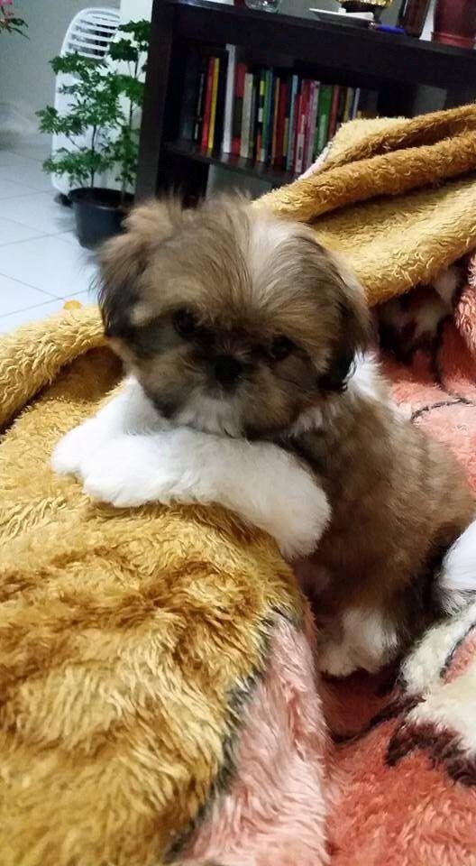 5 Tips On Taking Care Of Shih Tzu Puppies Shih Tzu Puppy Shih