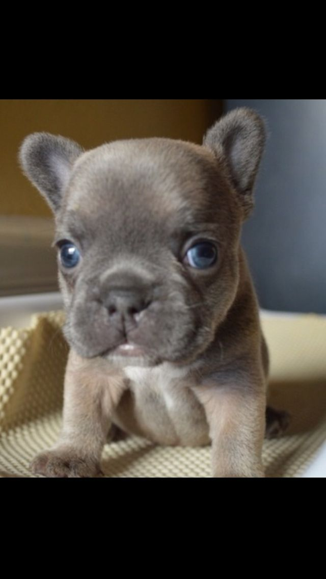 Too Cute Baby Dogs French Bulldog Puppies Bulldog Puppies