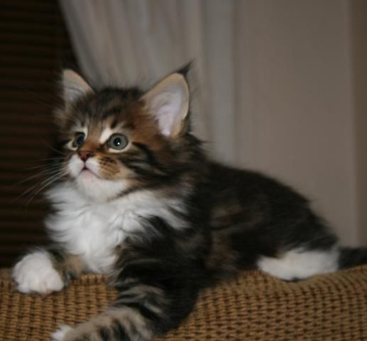 Koeni S Curtis Brown Tabby Male Forest Cat And S Ambient Paul
