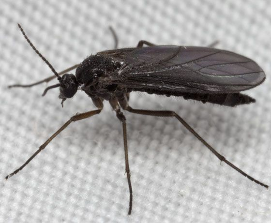 Dark Winged Fungus Gnats Google Search Flying Insects Tiny