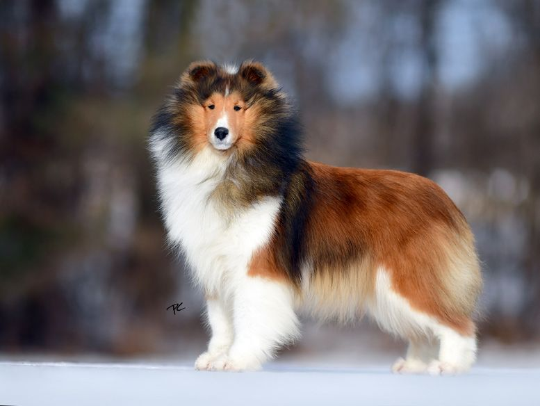 Ch Laureate Valhalla Sheltie Dogs Animals