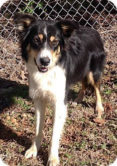 Bradenton Fl Border Collie Australian Shepherd Mix Meet Kelly A Dog For Adoption Dog Adoption Dogs Australian Shepherd