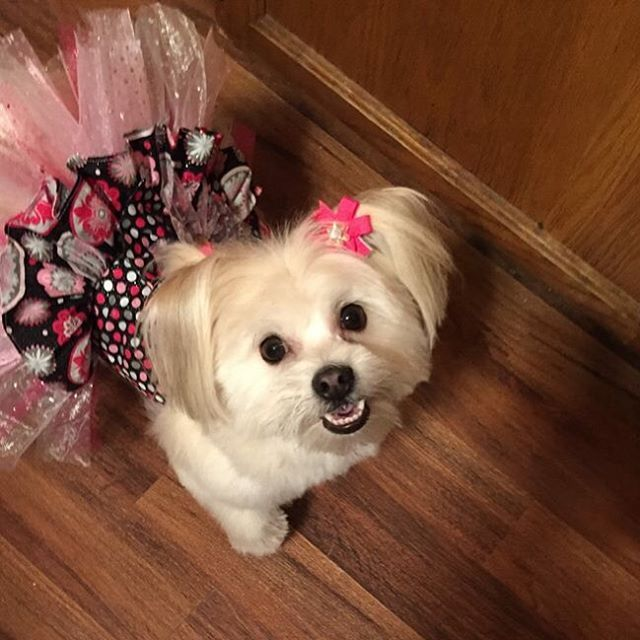 This week the title goes to the adorable Itsy Bitsy. Itsy Bitsy is a very fashion forward Pomapoo who's a little over a year old. She loves to swim and make friends! We're so happy this cutie and her mom found us and we could help accessorize this little fashionista!