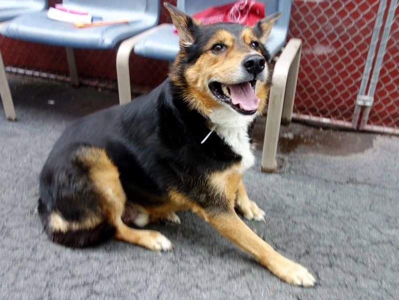 SAFE --- Manhattan Center    DUKE - A0999668   NEUTERED MALE, BLACK / TAN, GERM SHEPHERD MIX, 6 yrs  OWNER SUR - EVALUATE, NO HOLD  Reason PERS PROB  Intake condition NONE Intake Date 05/13/2014, From NY 10472, DueOut Date 05/13/2014  https://www.facebook.com/photo.php?fbid=804201146259433&set=a.617938651552351.1073741868.152876678058553&type=3&permPage=1