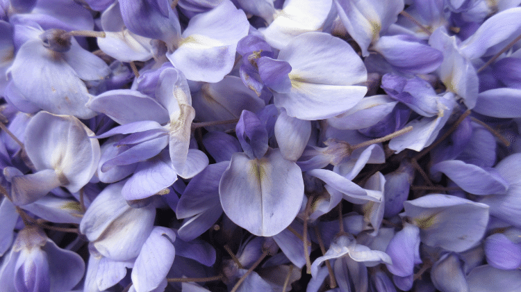Chinese Wisteria Wisteria Sinensis Is One Of My All Time Favourite Edible Flowers The Plant Bursts Forth In Great Cl Edible Flowers Flower Food Syrup Recipe