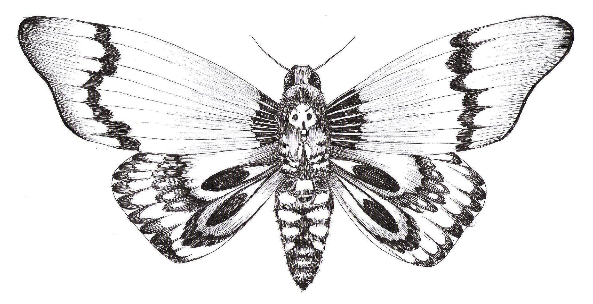 Dessin d 39 un papillon sphinx t te de mort drawing of a butterfly death 39 s head moth l 39 amour des - Dessin d un papillon ...