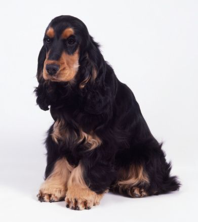 Black And Tan English Cocker Spaniel Sitting English Cocker