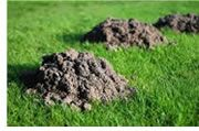 Moles dig deep tunnels to provide a yearlong food source. These deep tunnels appear on the ground surface as unsightly conical or volcano shaped mounds. Mole mounds, which are the result of deep digging, quickly kill grass.