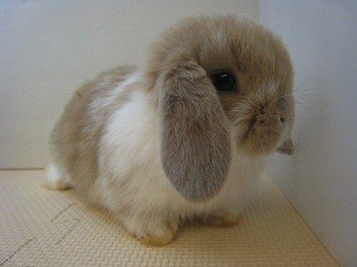 BUNNY! Lop Ear   Beautiful Animals   Cute baby bunnies ...   500 x 375 jpeg 22kB