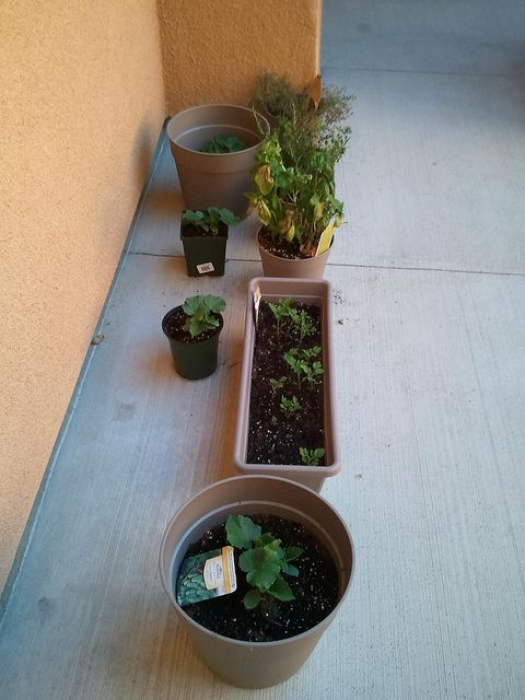 Four containers of cucumber plants e container row of tomato plants Herbs Basil