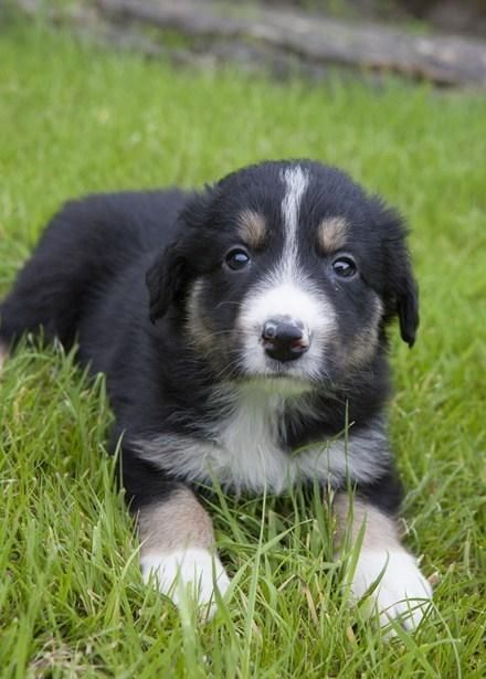 Border Collie Puppies For Sale In Lancaster Lancashire Preloved