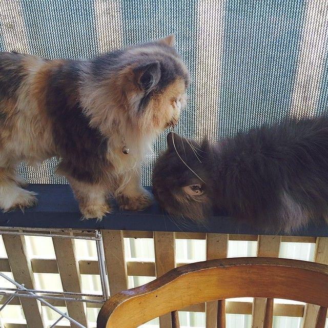 Persian Cats Cats and kittens, Persian cat, Beautiful cats