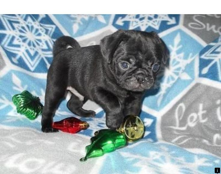 Look At The Webpage To Read More About Cheap Pugs For Sale Check