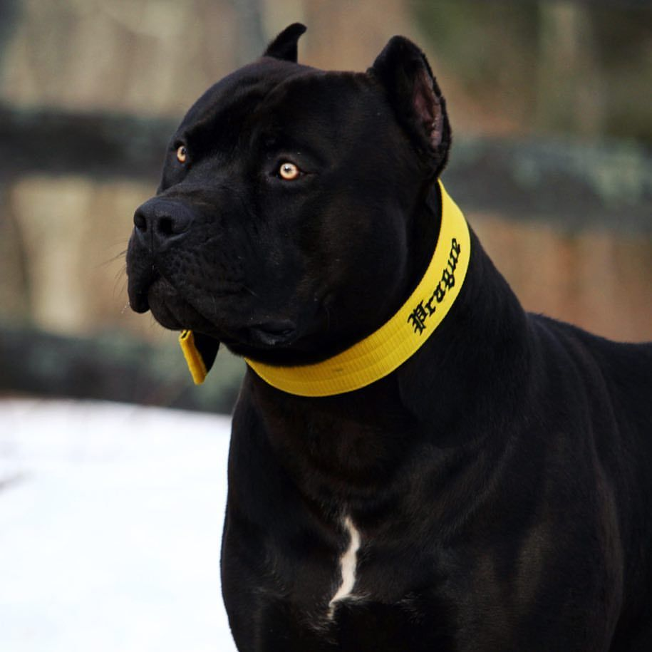 Prague Beauty Beast Pitbull King Pitbulls All Black Pitbull Pitbull Terrier
