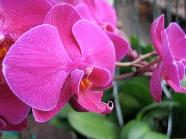 Storczyk Phalaenopsis Plants Flowers Rose
