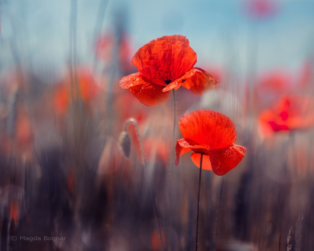 Poppies By Magda Bognar Photo 132676121 500px Mohnblume Fotografie Blumen Mohn
