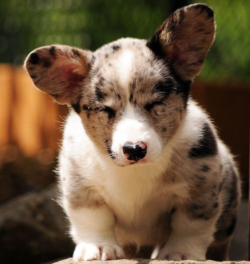Corgi Catahoula Mix This Will Be My Next Dog With Images