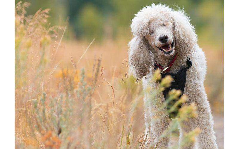 """Resultado de imagen de Poodle smiling"""""""