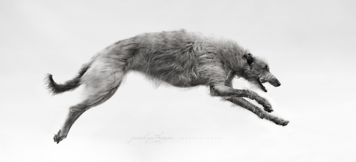 Deerhound running, by Jasalyn Thorne