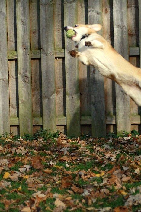 I M Not Kidding Corgi Dog Corgi Corgi Pictures
